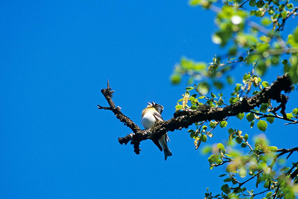 Fåglar 01-10001