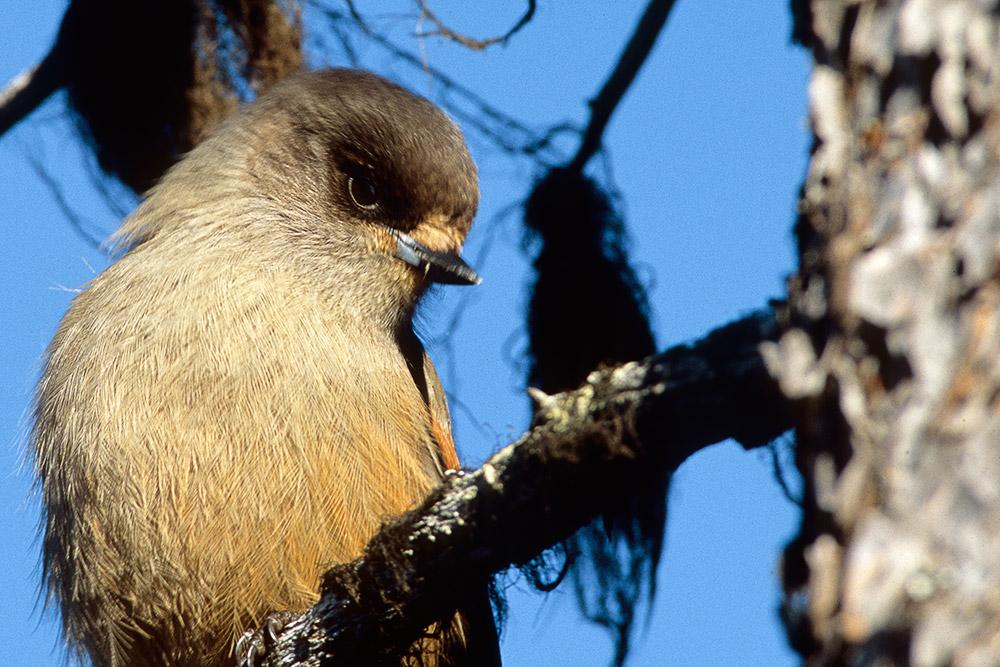 Fåglar 01-10076