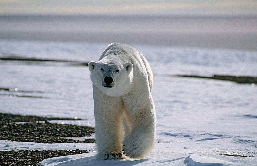 Isbjörn 01-12002