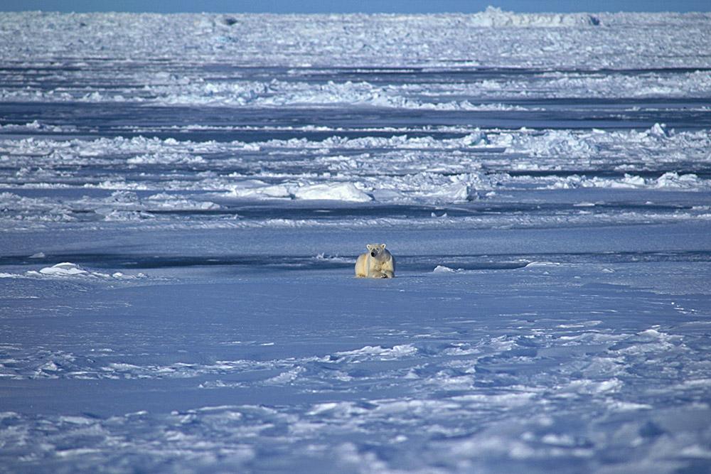Isbjörn 01-12005