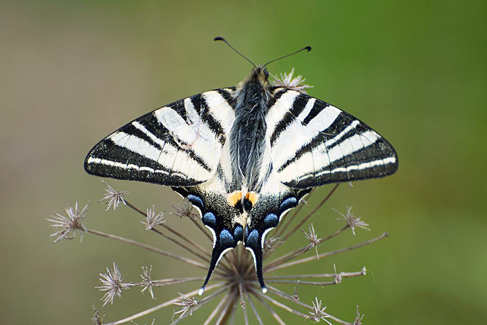 Fjärilar 01-14013