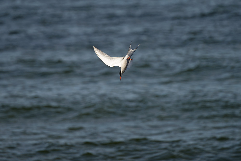 Fåglar 01-10115